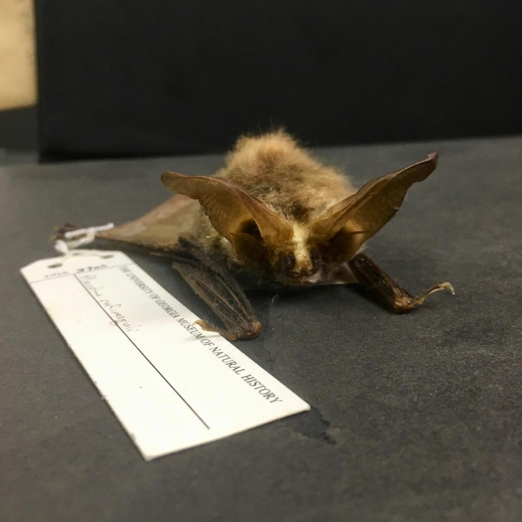 "Corynorhinus rafinesquii (""Rafinesque's big-eared bat"") is a small species native to the Southeastern United States. This specimen was collected off the coast of Georgia in 1979."