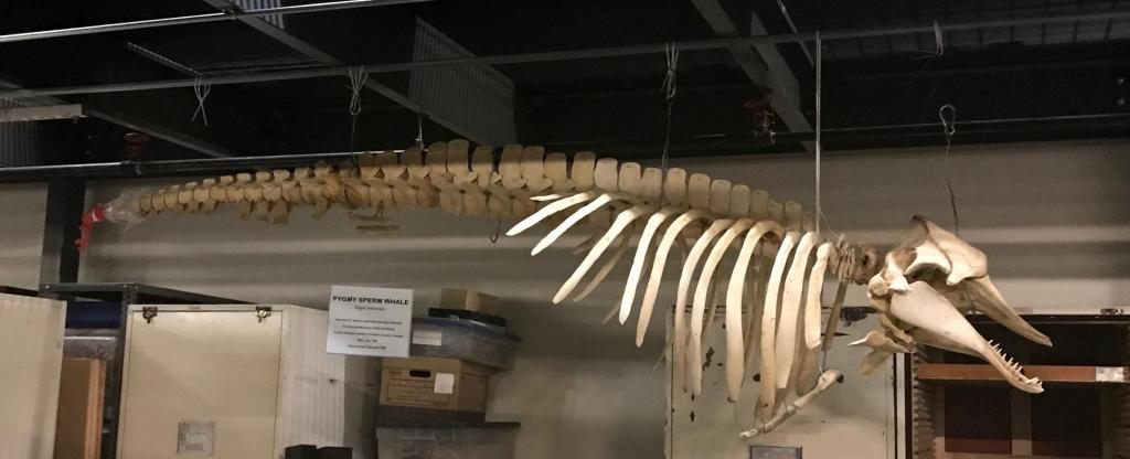 "Kogia breviceps (""Pigmy sperm whale"") is the most common whale found in Georgia. This specimen was found on Ossabaw Island and was re-articulated by student interns."