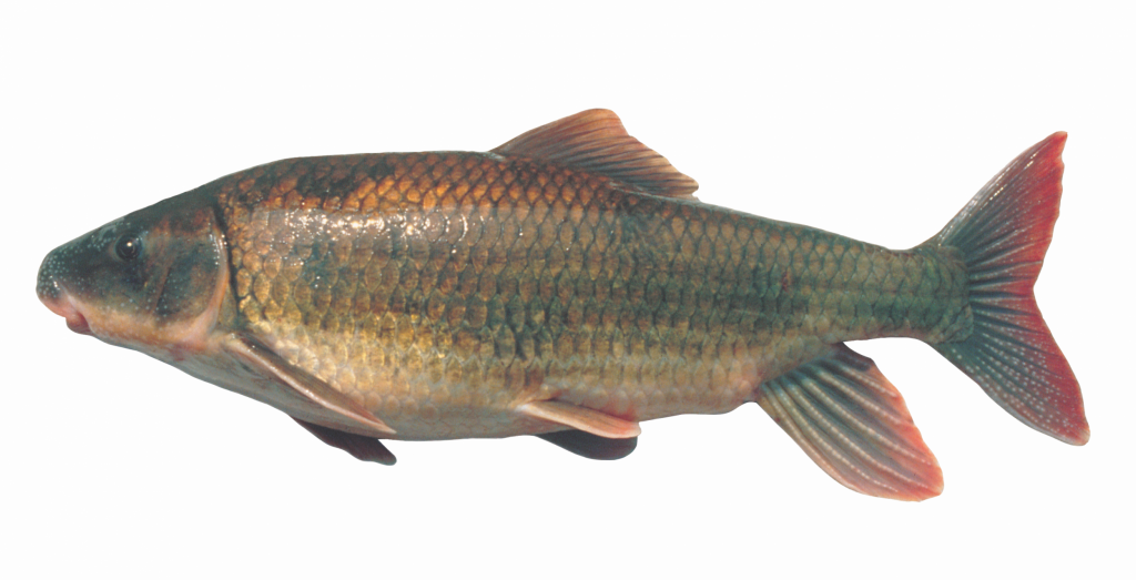 The Robust Redhorse, photograph of specimen from the Oconee River